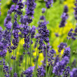 Blooming and smelling garden lavender — Stock Photo