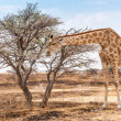 Giraffe — Stock Photo #26913127