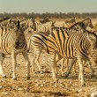 Herd of Plains Zebra — Stock Photo #26916811