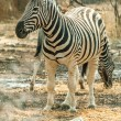 Plains Zebra — Stock Photo #26916909