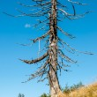 Stock Photo: Dry Tree