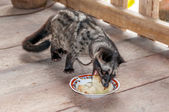 Zibet - zibetkatzen — Stockfoto