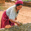 Stock Photo: Drying and Fermentation of Tea