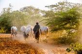 Evening grazing herds — Stock Photo