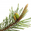 Stock Photo: Pine strobile and gemma