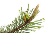 Pine strobile and gemma — Stock Photo