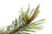 Pine strobile and gemma — Stock Photo