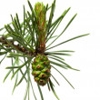 Pine cone on twig — Stock Photo
