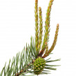 Pine twig with cone and buds — Stock Photo