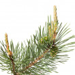 Stock Photo: Pine brunch isolated on white