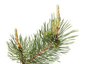 Pine brunch isolated on white — Stock Photo