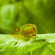 Cicada on lettuce — Stock Photo