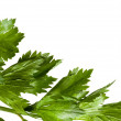 Macro of parsley — Stock Photo