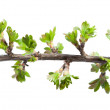 Macro of twig with fresh spring leaves — Stock Photo