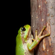 Macro of tree frog — Stock Photo