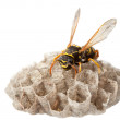 Wasp on paper vespiary — Stock Photo