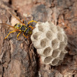 Wasps nest on pine bark — Stock Photo