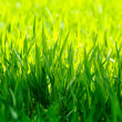 Macro of green grass — Stock Photo