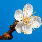 Постер, плакат: Drops on blossom