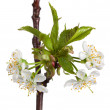 Dew on blooming cherry twig — Stock Photo