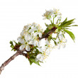 Blooming twig at spring — Stock Photo #27769909