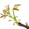 Walnut twig at spring — Stock Photo