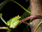 Tree frog sitting on branch — Stock Photo