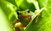 Green frog curious look — Stock Photo
