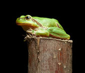 Green frog on branch — Stock Photo