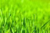 Macro of green corn blades on field background — Stock Photo
