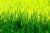 Macro of green grass — Stock Photo