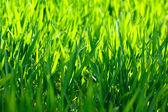 Fresh grass on spring time farmland — Stock Photo