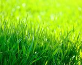 Springtime corn field closeup — Stock Photo