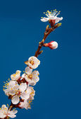Fruit tree brunch blossom — Stock Photo