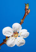 Five-petal blossom of fruit-tree — Stock Photo