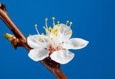 Macro of rain drops on blossom — Stock Photo