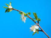 Galho de apple blossom — Fotografia Stock