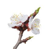 Fruit-tree blossom — Stock Photo