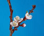 Gocce d'acqua su un ramoscello fiorito — Foto Stock