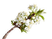 Blooming twig at spring — Stock Photo