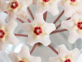 Närbild av hoya blom — Stockfoto