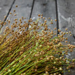 Ripe flax — Stock Photo #27971573