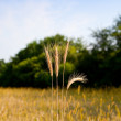 Wheat ears ready to harvest — Stock Photo
