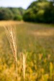 Oreja de cereal maduro sobre fondo de campo — Foto de Stock
