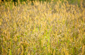 Weed grass over corn field — Stock Photo