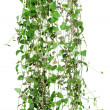 Stock Photo: Branch of ivy isolated on white background