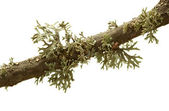 Lichen on tree twig — Stock Photo