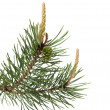 Stock Photo: Pine brunch