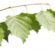 Birch twig — Stock Photo #28320773