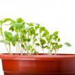 Green cabbage sprouts growing in red pot — Stock Photo